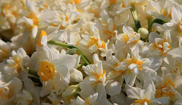 Narcissos'un Ölümü, Nergisin Yaşamı | DOSYA & HABER
