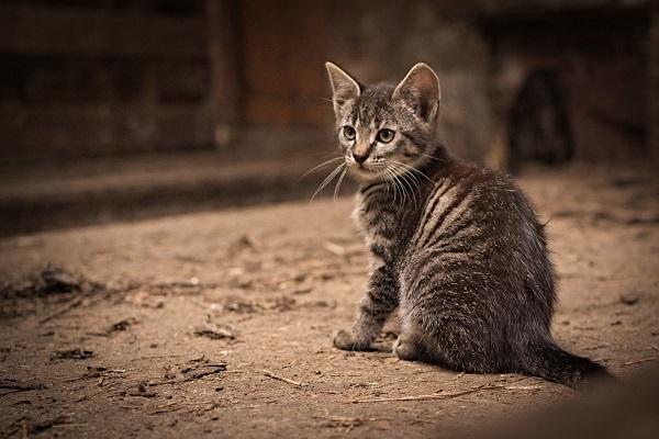 Ege Life | Fıv: Kedilerin İmmun Yetmezlik Virüsü - Kedi AIDS'i