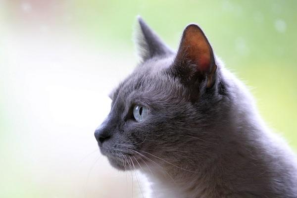 Ege Life | Kedilerin İnfeksiyöz Peritoniti