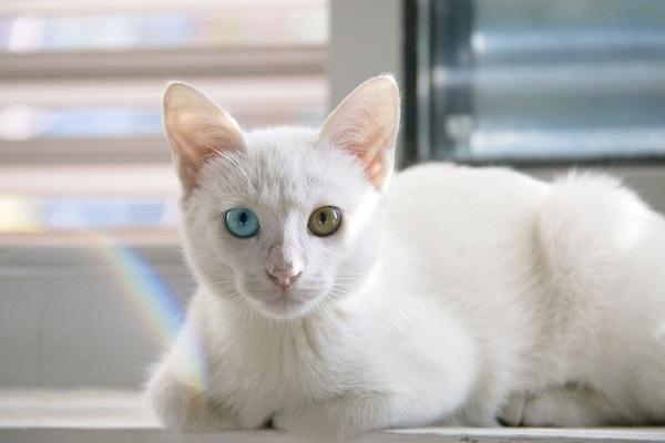 Kedilerin Alt Üriner Sistem Hastalığı