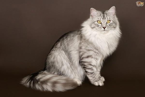       Kedi Tüyü Alerjisi ve Alerji Yapmayan Kedi Türleri