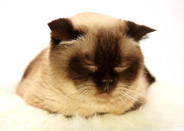|  || Fıv: Kedilerin İmmun Yetmezlik Virüsü - Kedi AIDS'i