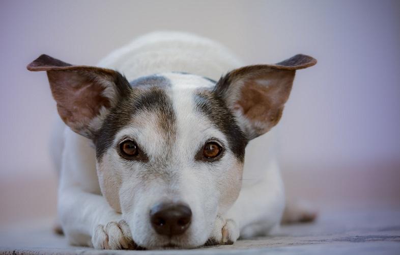 |  || Kedi ve Köpeklerde Kulak Problemleri