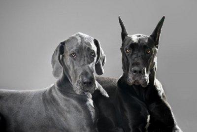 Köpeklerde Dirsek Displazisi | DOSYA & HABER